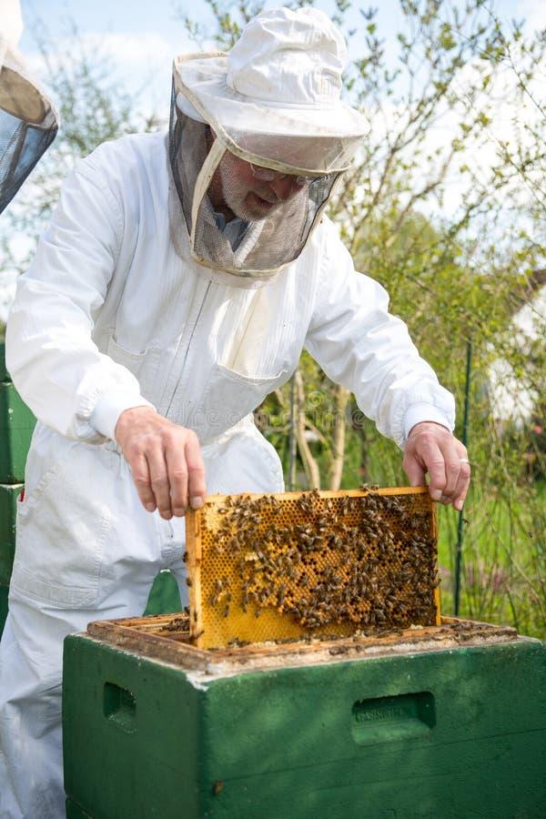 Apicultor que importa-se com a colônia da abelha imagens de stock royalty free