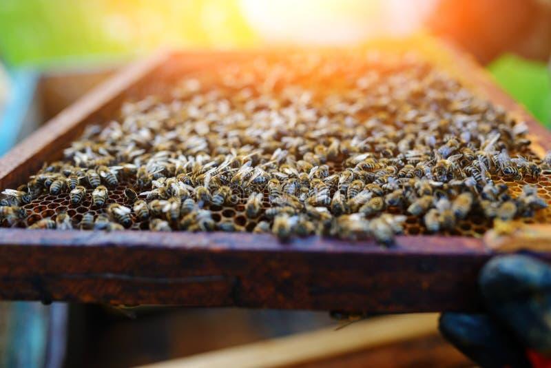 Apicultor que lleva a cabo el marco del panal con las abejas imagenes de archivo