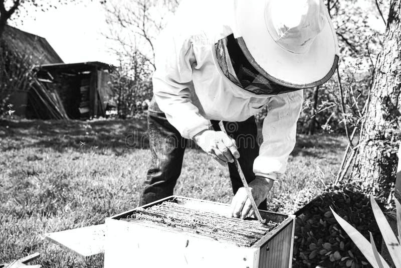 Apicultor que retira o quadro de madeira com o favo de mel da colmeia usando a ferramenta do aperto do quadro fotografia de stock royalty free