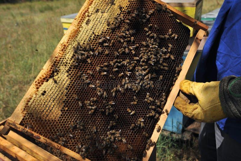 Apicultor que verifica o mel produzido por abelhas nas madeiras imagem de stock