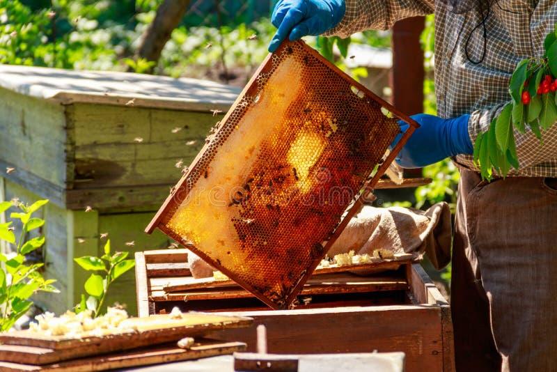 Apicultor que verifica uma colmeia para assegurar a sa?de da col?nia da abelha ou que recolhe o mel imagem de stock
