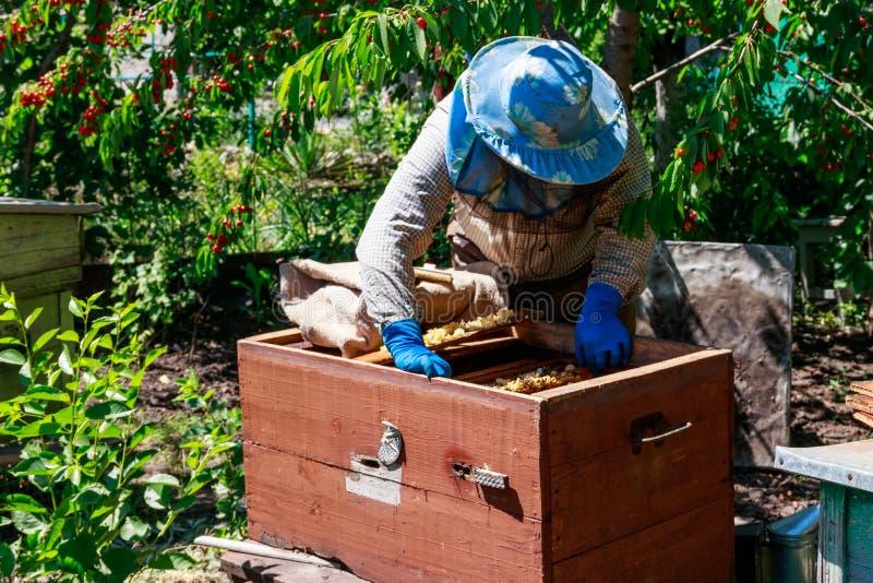 Apicultor que verifica uma colmeia para assegurar a sa?de da col?nia da abelha ou que recolhe o mel foto de stock royalty free