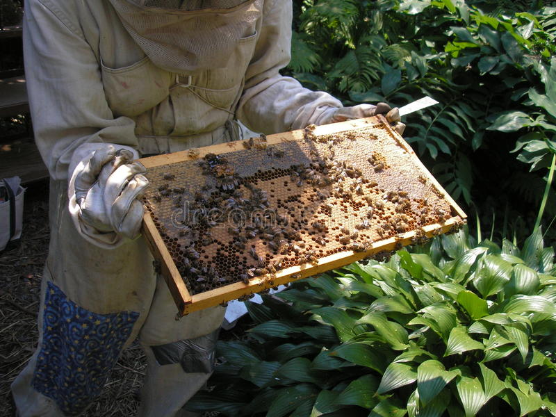 Apicultor y abejas en la bandeja de la colmena fotografía de archivo