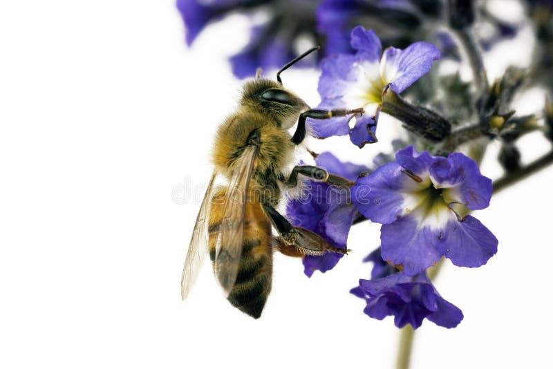 apis蜂mellifera 免版税库存图片