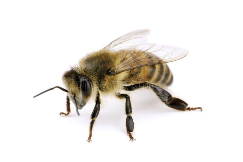 apis蜂mellifera 免版税图库摄影