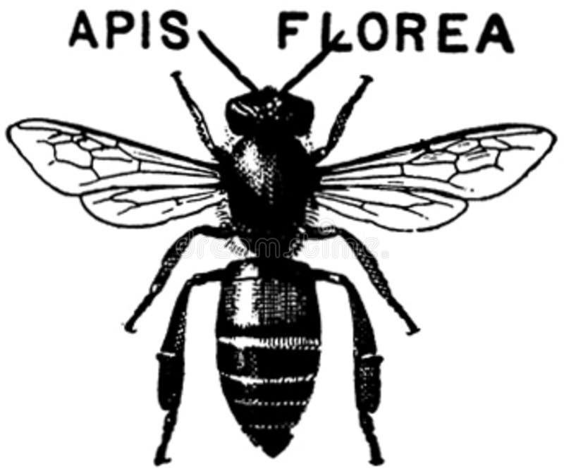 Apis-florea-oa Free Public Domain Cc0 Image