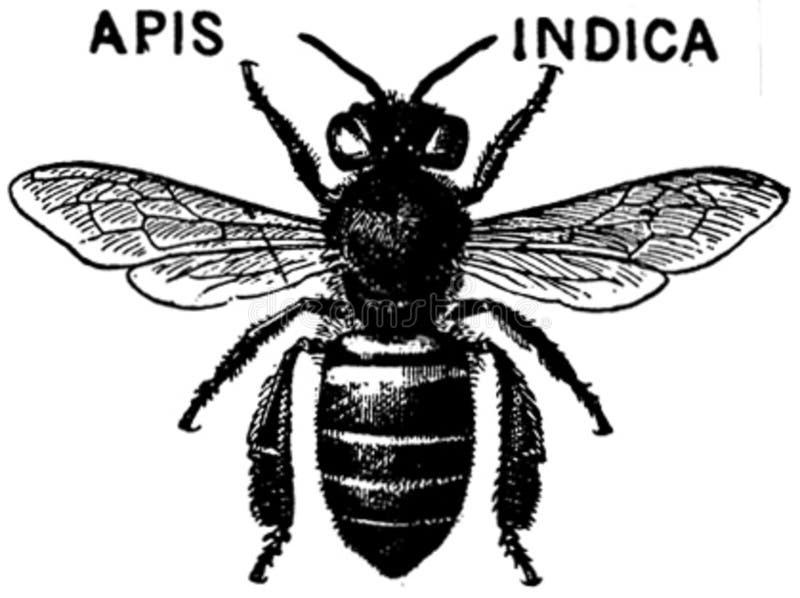 Apis-indica-oa Free Public Domain Cc0 Image