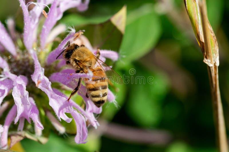 Apis Mallifera de la abeja que poliniza en las flores florecientes en el campo de la pradera del parque del santuario en un día d imagenes de archivo