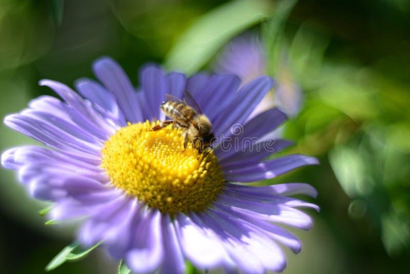 Apis mellifera,授粉照片的欧洲蜂蜜蜂翠菊花关闭 免版税库存照片