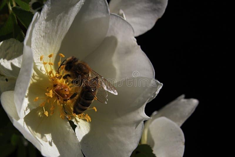 Apis mellifera europeo dell'ape del miele che atterra sul fiore bianco della rosa canina Rosa Canina immagini stock libere da diritti