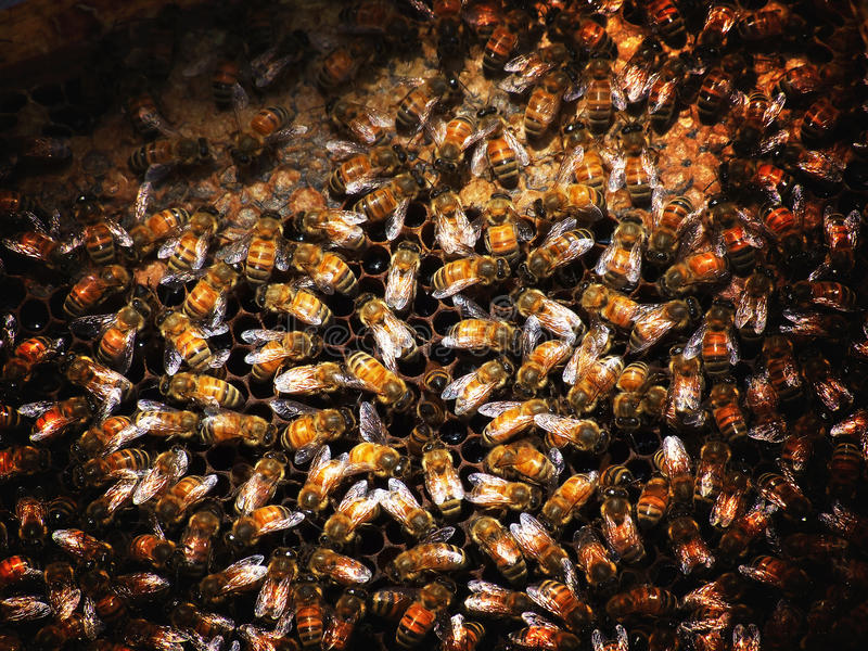 / Apis mellifera gatunki z wielkim ciało podwładnym Apis dorsata Pszczoła jest popularnym przyjęciem Pszczoła gatunki które są ro zdjęcia stock