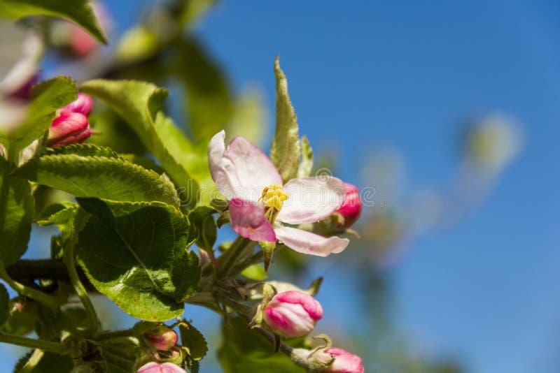 Aple tree blossom stock photography
