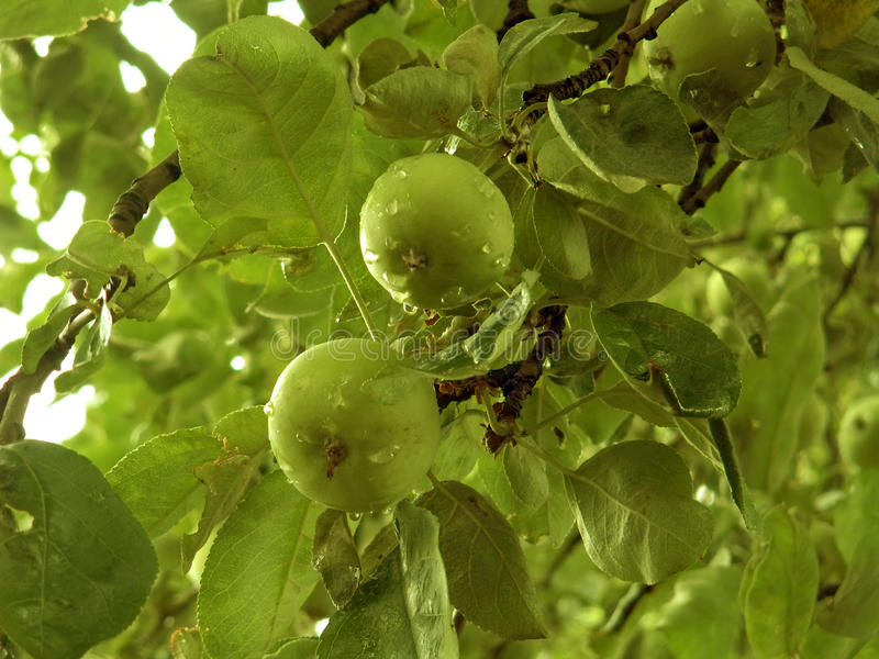 Aple tree fruit food. Vitamin garden royalty free stock photography