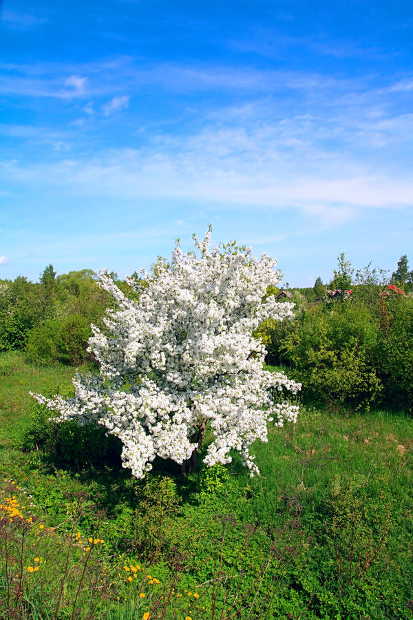 Aple trees. White flowerses to aple trees stock image