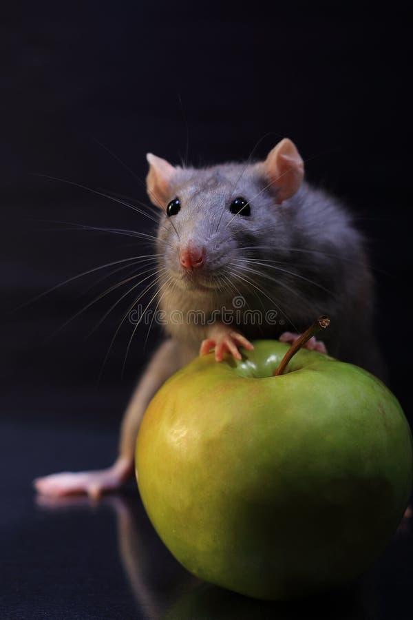 aple whis szczura fotografia royalty free