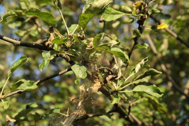 aplle树的分支在疾病网的 白鼬毛皮痣流行病  免版税图库摄影