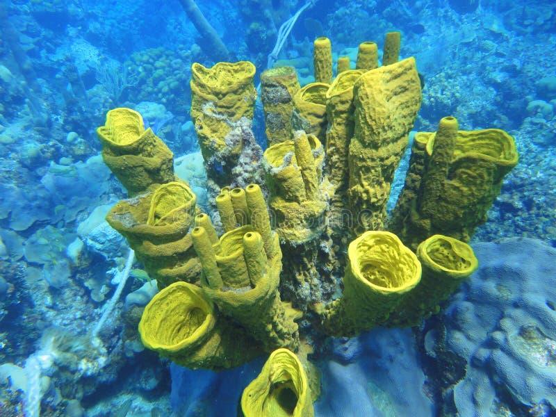 Aplysina fisturalis, korall, havsbotten royaltyfria foton