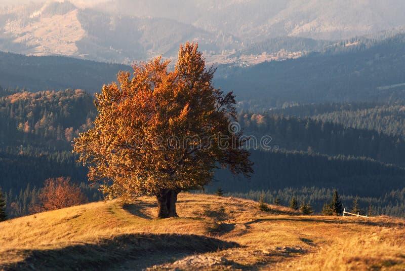Apogée d'automne d'or Un vieux hêtre solitaire, Lit par Autumn Sun, avec beaucoup de feuillage orange sur le fond des montagnes images stock