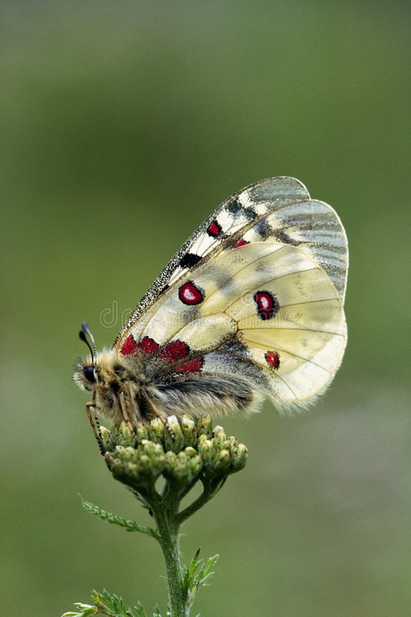 Apollo butterfly stock photography