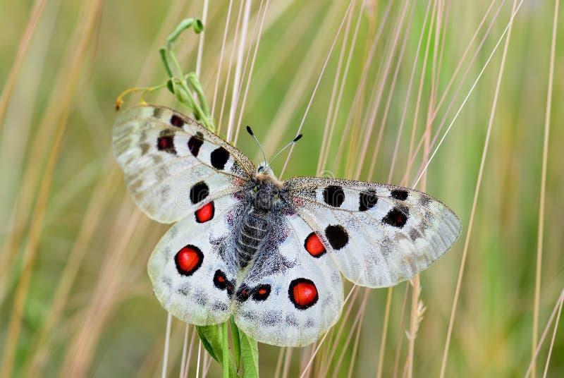 Apollo Butterfly - Parnassius Apollo fotografie stock libere da diritti