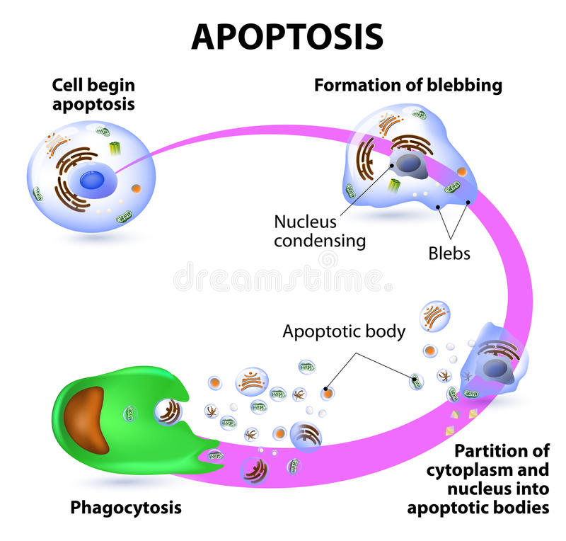 Apoptosis royaltyfri illustrationer