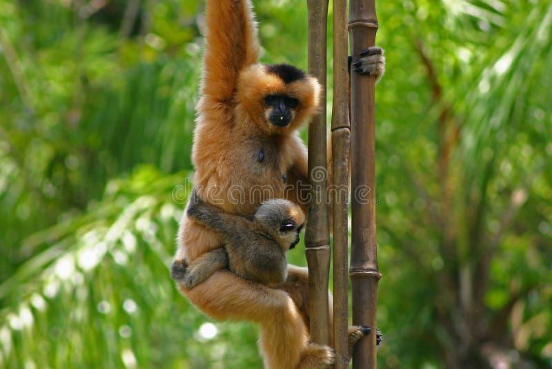 apor fotografering för bildbyråer