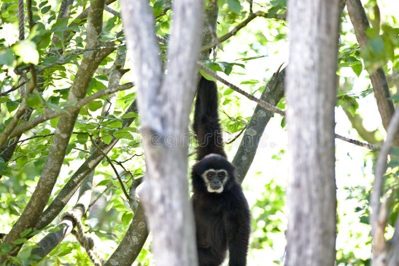 Apor: gibbon som hänger i träd royaltyfri foto