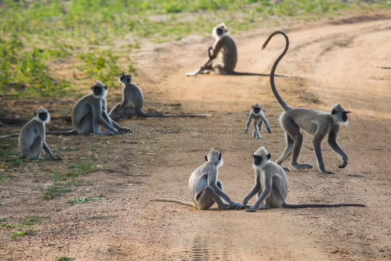 Apor grupperar på vägen royaltyfria bilder