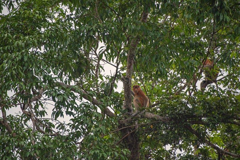 Apor i deras typiska miljö - tropisk skog i Indonesien - på den Borneo ön royaltyfria bilder