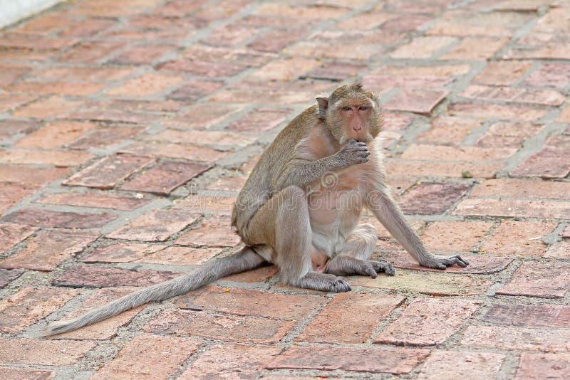 Apor i natur arkivbild