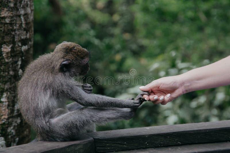 Apor i Ubud den sakrala apan Forest Bali, Indonesien arkivfoto