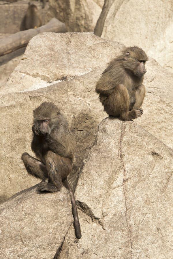 Apor i zooen royaltyfri bild
