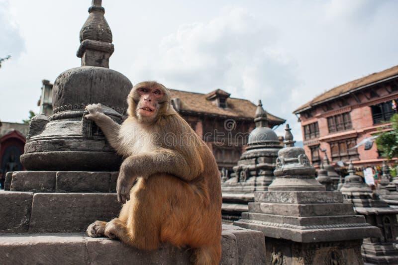 Apor på apatemplet, Katmandu, Nepal fotografering för bildbyråer