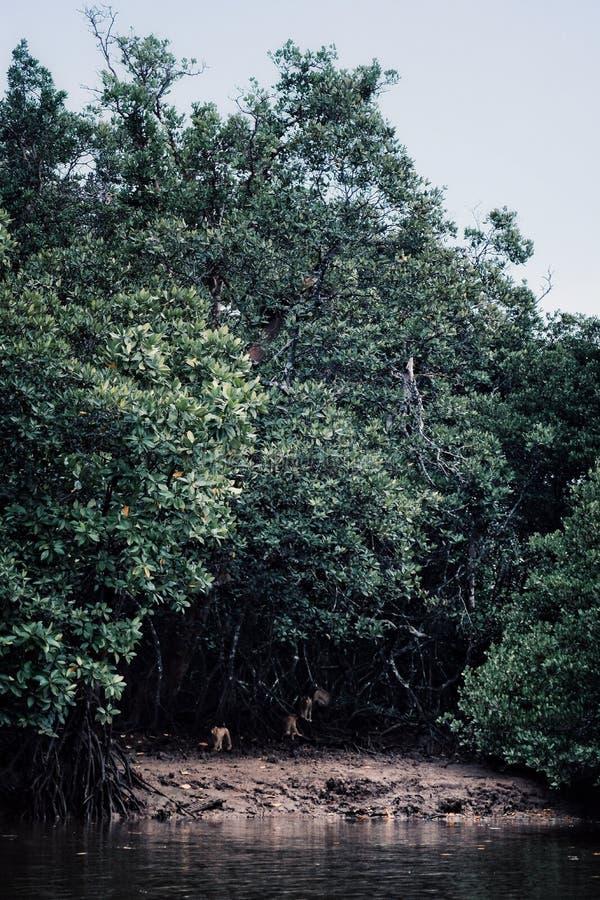 Apor samlar runt om kusten av ett sankt område av borneo royaltyfri bild