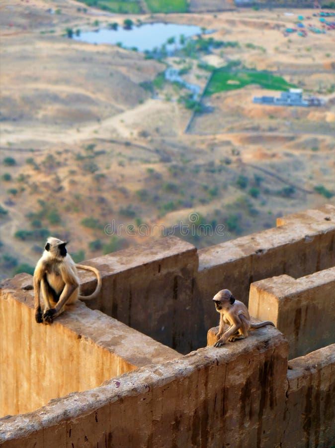 Apor upptill av staden av Pushkar, Indien royaltyfria bilder