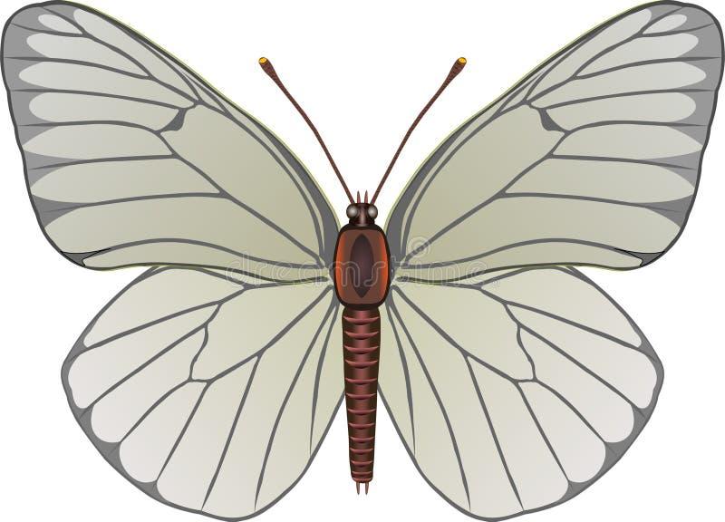 Download Aporia illustrazione vettoriale. Illustrazione di biodiversity - 200257