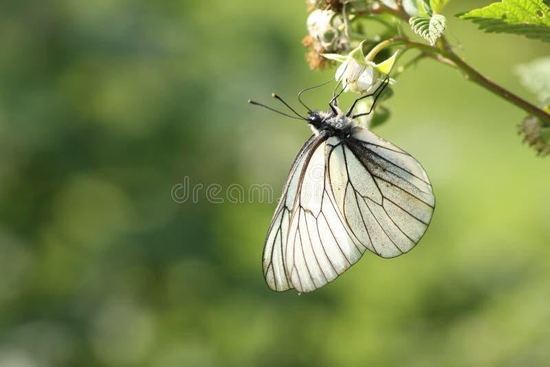 Aporia Crataegi auf Himbeere lizenzfreies stockbild