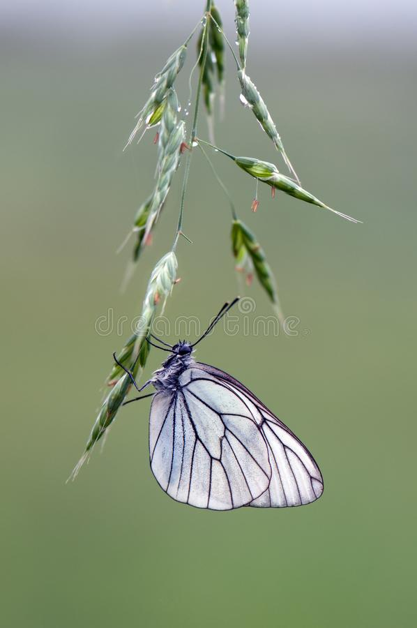Aporia-crataegi Schmetterling auf einer weißen wilden Blume früh morgens lizenzfreie stockfotografie