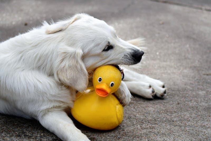 Aporter guma Duckie zdjęcie royalty free