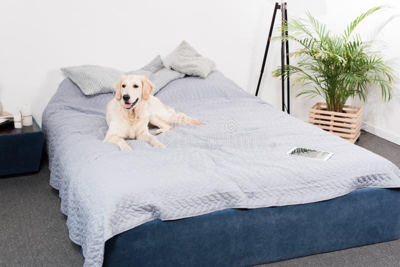 Aporteru pies z cyfrowym pastylki lying on the beach na łóżku obrazy royalty free