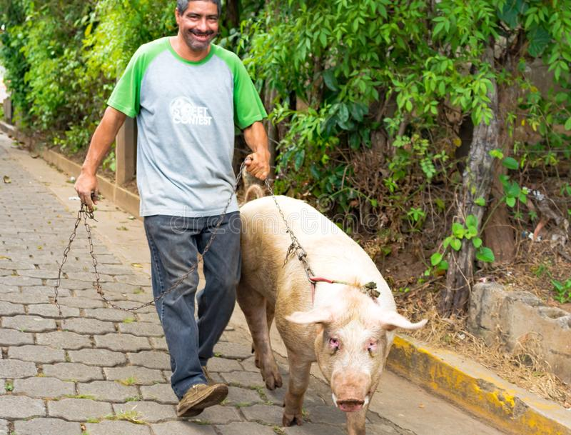 Walking the Pig to the Local Market royalty free stock photo