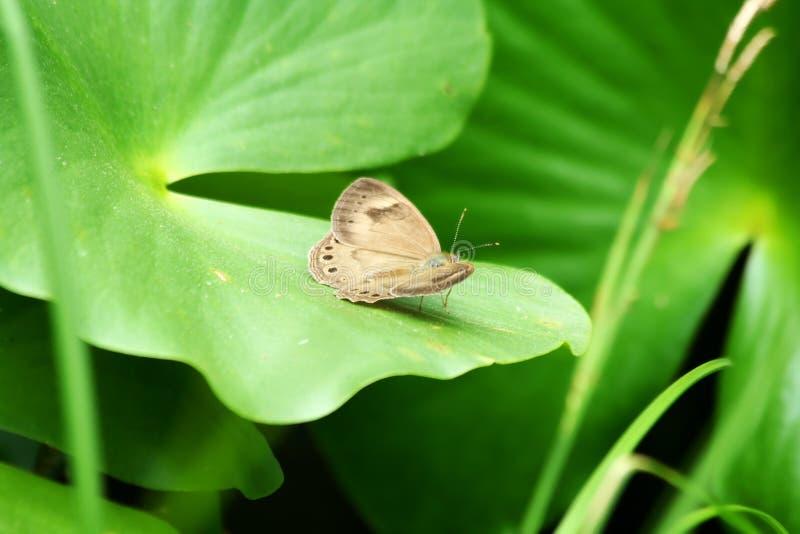 Download Appalachian brun fjäril arkivfoto. Bild av djurliv, växt - 19793156