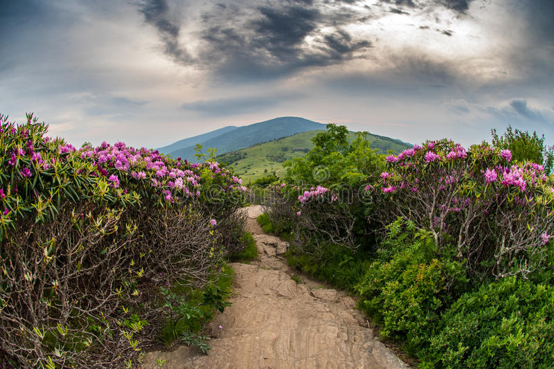 Appalachian Trail Descends Jane Bald Through Rhododendron. Bloom in June stock photos