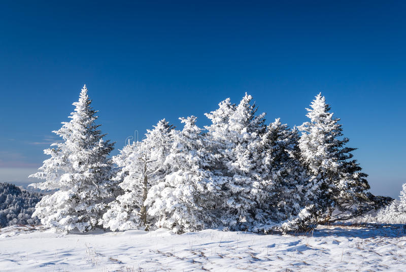 Appalachian Trail Winter Hike. A Frasier fir tree grows naturally along the Appalachian Trail at the Roan Highlands of the Blue Ridge Mountains on the border of stock photos