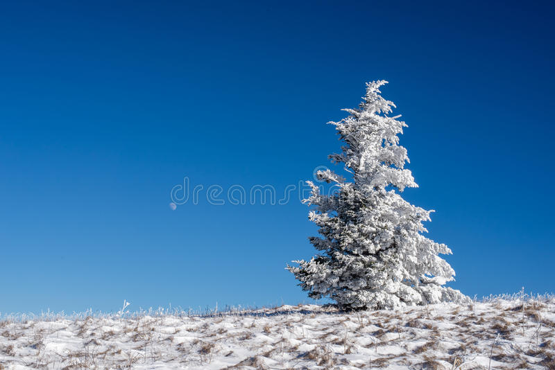 Appalachian Trail Winter Hike. A Frasier fir tree grows naturally along the Appalachian Trail at the Roan Highlands of the Blue Ridge Mountains on the border of stock photography
