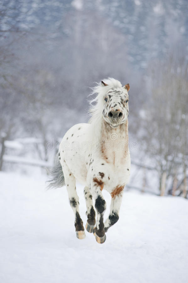 Appaloosa del cavallino nell'azione immagine stock