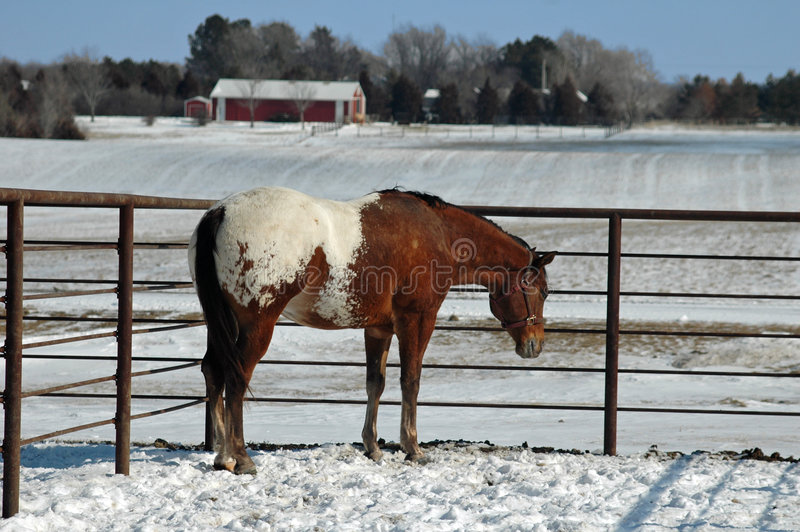 Appaloosa en nieve imagen de archivo
