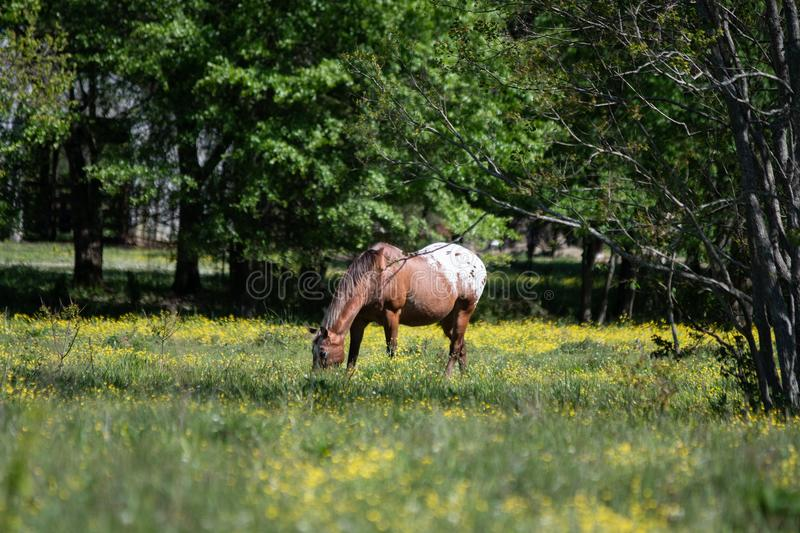 Appaloosa gelding grazing royalty free stock photography