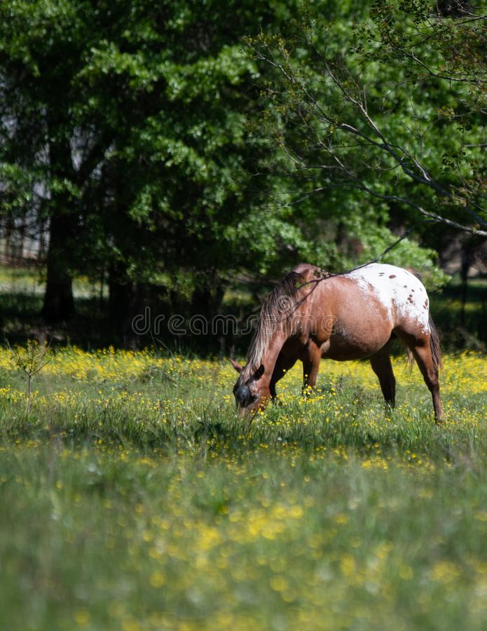 Appaloosa gelding grazing with out of focus foreground - vertical royalty free stock photo