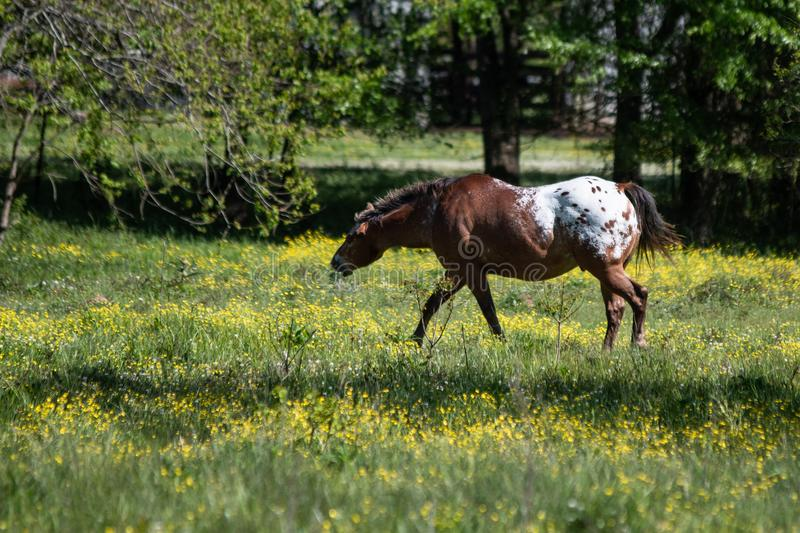 Appaloosa gelding in a spring pasture royalty free stock photos
